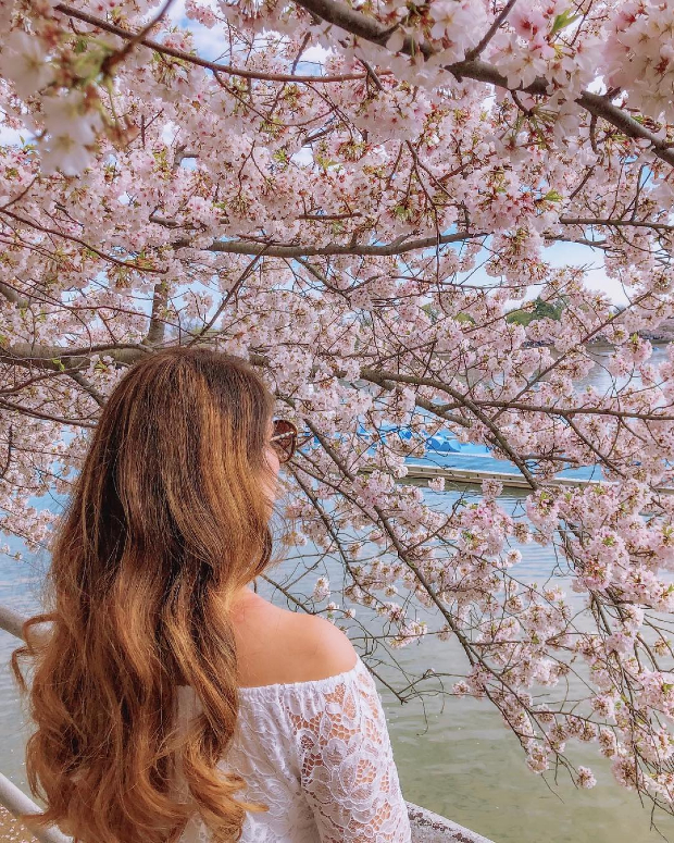 mùa hoa anh đào Washington